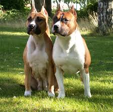 land of giants american pitbull terriers american staffordshire terrier dogs dogs dogs love u003c3