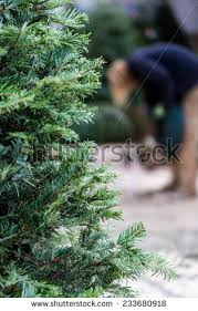 beautiful fresh cut christmas trees christmas stock photo