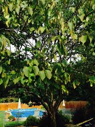 my japanese lilac tree is losing a lot of leaves it seems too