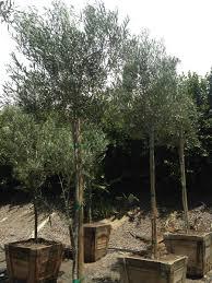 olea europaea wilsonii evergreen nursery
