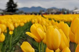 Skagit Valley Tulip Festival Bloom Map Skagit Valley Tulip Festival Photography Tour In Washington