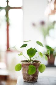 best 25 chinese money plant ideas on pinterest money plant