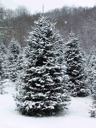 35 best nc choose u0026 cut christmas trees images on pinterest