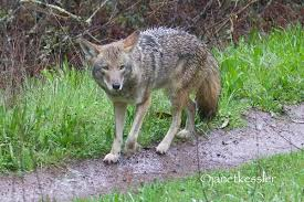 Coyote In My Backyard What Is Going On With A Coyote Which Appears U201cbolder U201d Than Normal