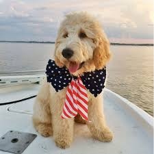 goldendoodle puppy treats 17 best cali images on puppies dogs and doodle ideas