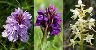 Flower Of Orchid - western isles orchids western isles wildflowers flowers of the