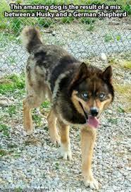 australian shepherd wolf german shepherd husky puppy i must have my 2 favorite dogs