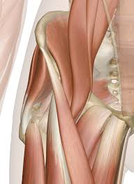 Human Anatomy Muscle Muscles Of The Hip Anatomy Pictures And Information