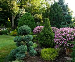 can alberta spruce be trimmed better homes gardens