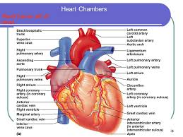 Gross Anatomy Of The Human Heart The Heart Objectives Ppt Video Online Download