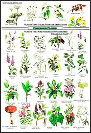 edible medicinal flower plant chart yahoo image search results