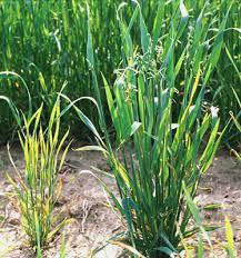 Symptoms Of Viral Diseases In Plants - rice dwarf virus microbewiki