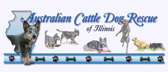 australian shepherd quad cities australian cattle dog rescue of illinois adoption heelers