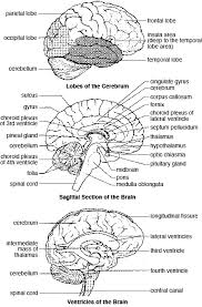 Sheep Heart Anatomy Quiz Labeling The Brain Quiz Brain Anatomy Quizzes Neuroanatomy Eye