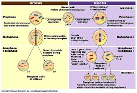 difference between mitosis and meiosis 32 differences biology