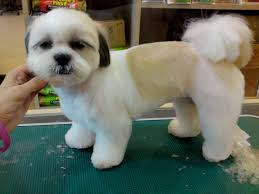 how to cut a shichon s hair the right shih tzu haircut shih tzu daily