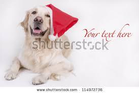 cute sitting golden retriever puppy dog stock photo 559559209