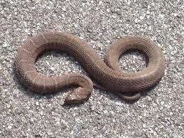venomous copperhead or water snake high and dry on hunterdon