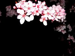 morning blossom wallpapers blossom background by kira aso on deviantart