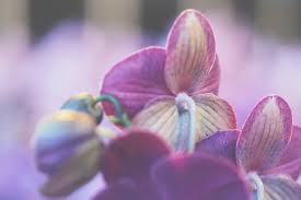 What Is An Orchid Flower - phalaenopsis facts stolk flora