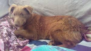 billings mt craigslist lost dog billings montana rusty