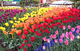 Tulip Festival Map How To Get The Most Out Of The Skagit Valley Tulip Festival Kafe