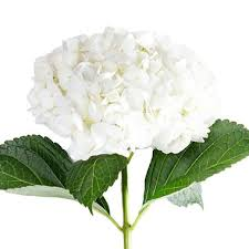 white hydrangea hydrangea white 20 stems sam s club