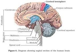 si e des motions dans le cerveau anatomie du cerveau health media