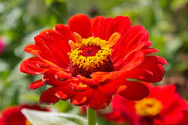 free stock photos rgbstock free stock images zinnia flowers