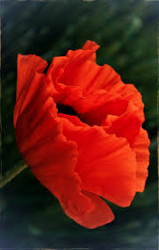 1903 best poppy art images on pinterest poppy flowers red