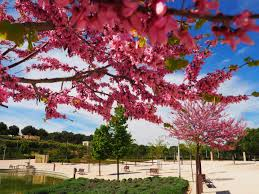 Cherry Blossom Facts by 11 Curiosities You Did Not Know About Madrid