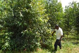 why engage in commercial tree planting in uganda daily monitor