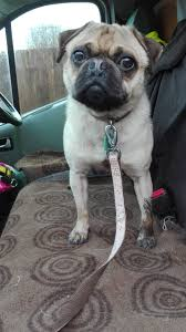 pug x boxer dog rocky u2013 18 month old male pug cross jack russell terrier dog for