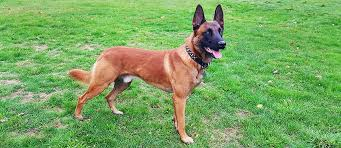 belgian malinois for sale belgian malinois puppy for sale about malinois breed