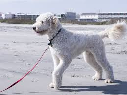 goldendoodle wikipedia the free encyclopedia dogs pinterest