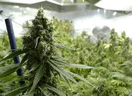 Best 25 Marijuana Grow Lights by Best 25 Indoor Plants Low Light Ideas On Pinterest Indoor Plant