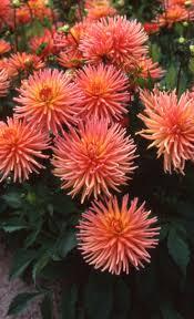 Awesome Looking Flowers Best 25 Dahlia Flowers Ideas On Pinterest Macro Express Diy