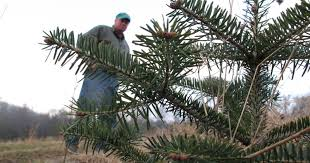 Pacific Northwest Christmas Tree Association - root rot threatens traditional christmas fir trees