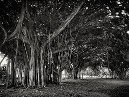 hawaiian banyan tree root study photograph by daniel hagerman