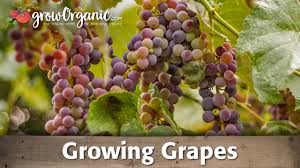 growing table and wine grapes organically youtube