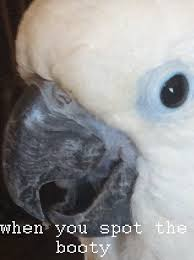 Parrot Meme - meowchlrp told me make her parrot a meme by happyhun3000 on deviantart