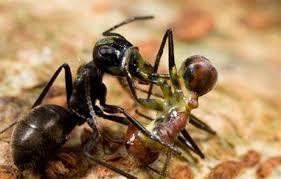ants size matters shape
