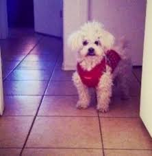 bichon frise years the 11 best images about bichon frise us lost dog registry on