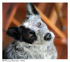 australian shepherd quesnel 25 best amazing pit bull mixes images on pinterest blue heelers