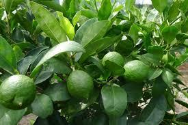 citrus tahitian lime tree 2ft hello hello plants garden supplies