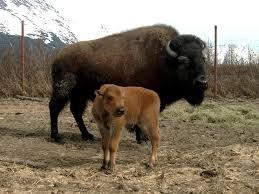 Alaska wildlife tours images Alaska wildlife conservation center portage jpg