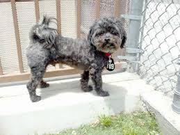 shih tzu toy poodle mix google search doggies pinterest