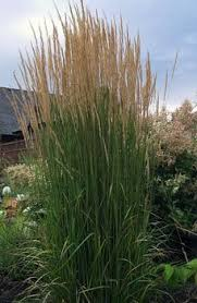 calamagrostis x acutiflora karl foerster feather reed grass