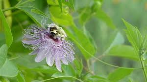 passiflora incarnata commonly known as maypop purple
