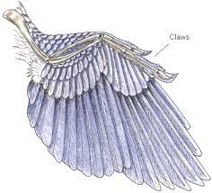 Bird Wing - how to preserve bird wings legs and heads the way 6